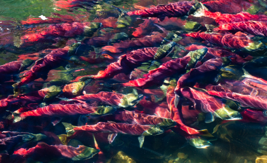Pebble Mine threatens so much more than just the Alaskan Salmon Population